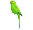 Green Parakeet image