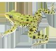 Green Frog image